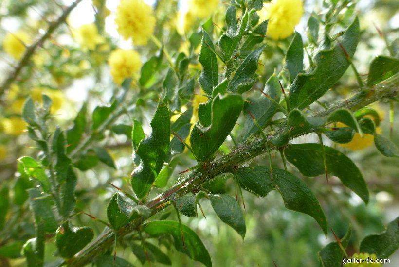 Akácie (Acacia paradoxa)