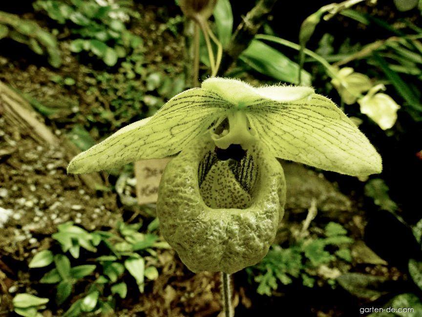 Střevíčník - květ (Paphiopedilum malipoense)