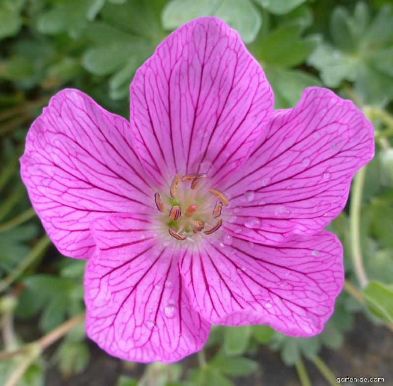 Kakost Pink Panther - květ (Geranium x lindavicum)