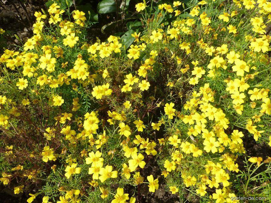 Aksamitník jemnolistý Luna Lemon (Tagetes tenuifolia)