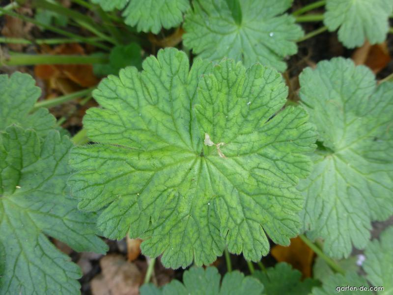 Kakost pyrenejský Summer Snow - list (Geranium pyrenaicum)