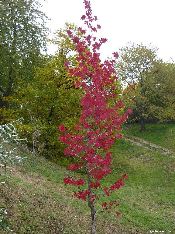 Amerikanischer Amberbaum - Liquidambar styraciflua Aurora