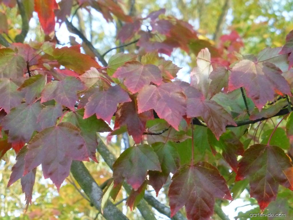 Javor červený October Glory - podzimní barvení (Acer rubrum)