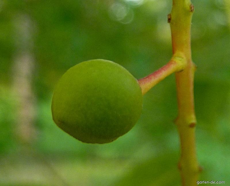Střemcha Grayova - plod (Prunus grayana)
