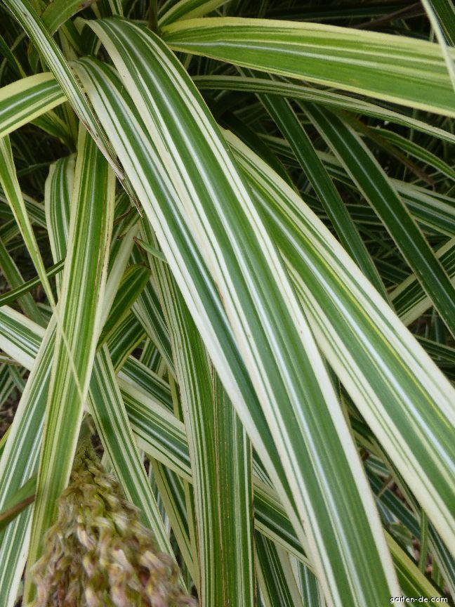 Chinaschilf - Miscanthus sinensis Silberpfeil