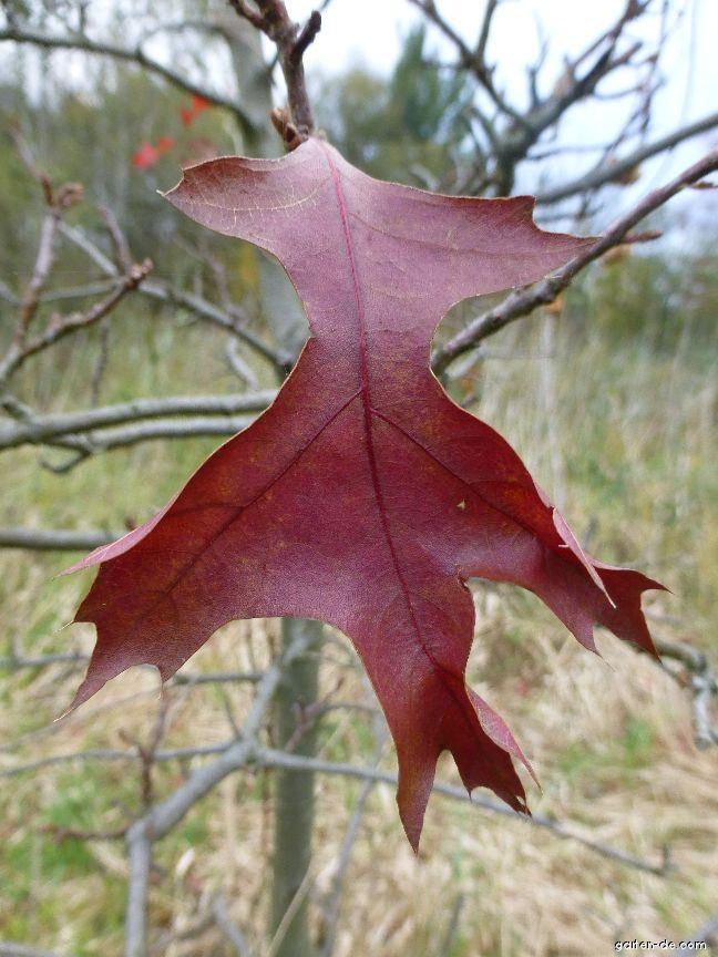 Sumpf-Eiche - Quercus palustris Swamp Pygmy