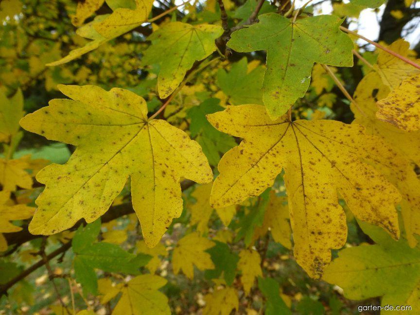 Javor Babyka Postelense Podzimní Zbarvení Acer Campestre