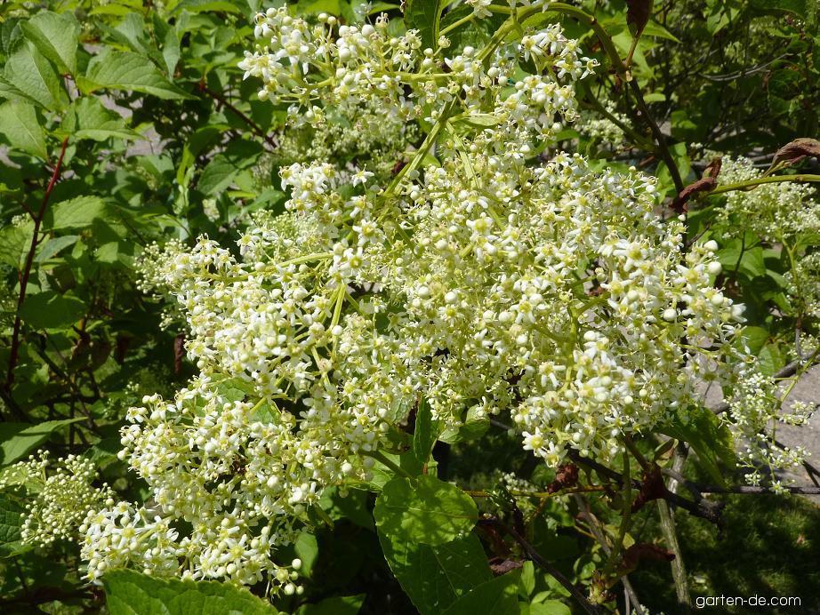Trojkřídlec Regelův - květ (Tripterygium regelii)