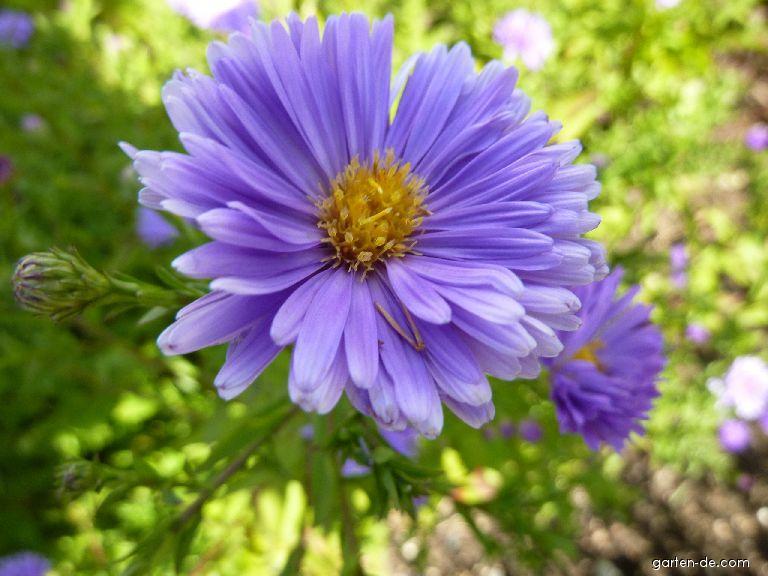 Glattblatt-Aster - Symphyotrichum novi-belgii Royal Blue