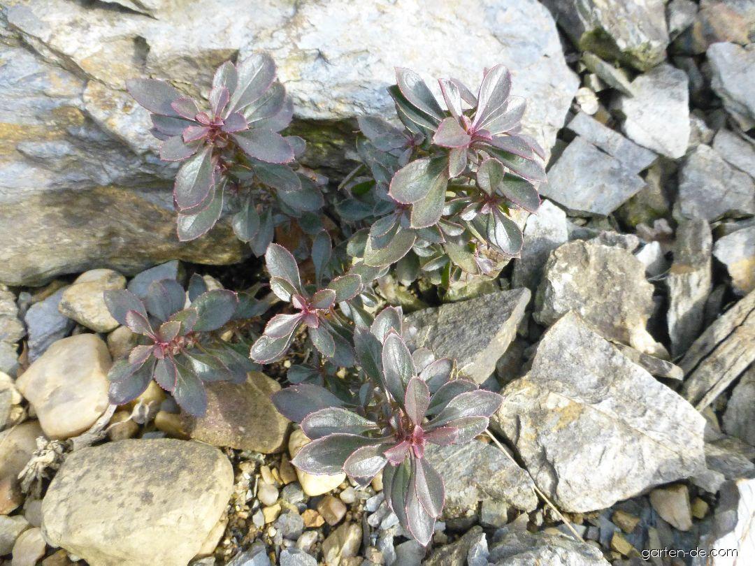 Dračík (Penstemon fruticosus var serratus)