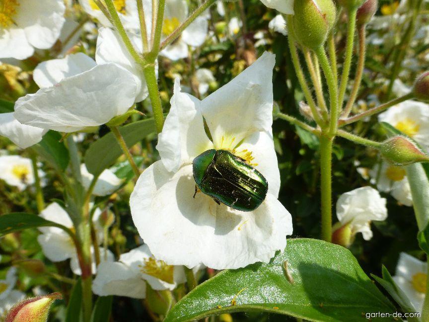 Cist vavřínolistý (Cistus laurifolius)