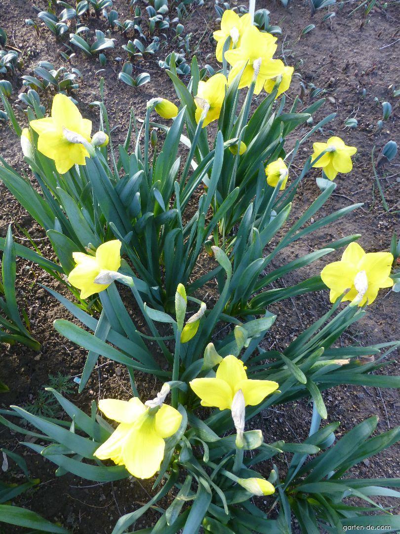 Narcis zahradní (Narcissus x hybridus)