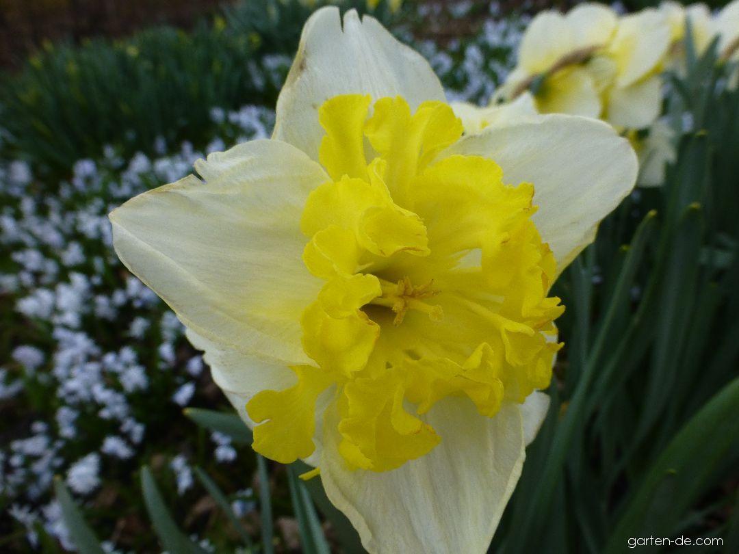 Narcis zahradní Printal - květ (Narcissus x hybridus)
