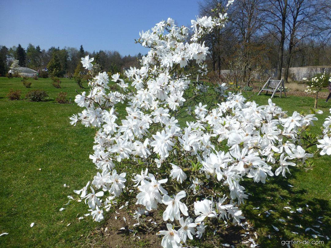 Šácholan Loebnerův Donna - habitus v květu (Magnolia x loebneri)