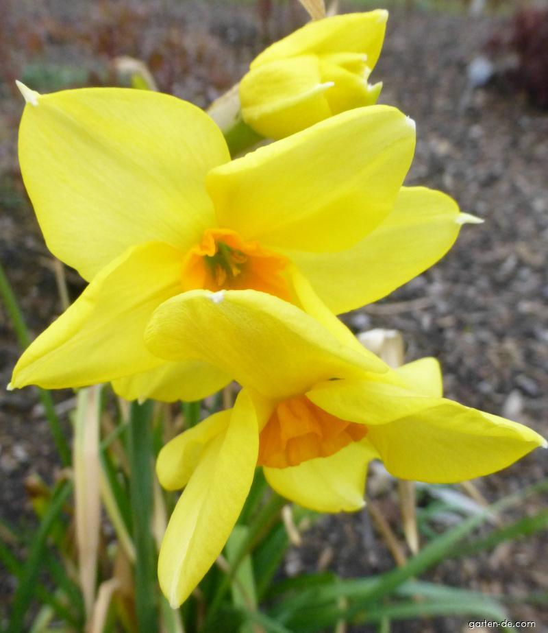 Narcis - květ (Narcissus Martinette)