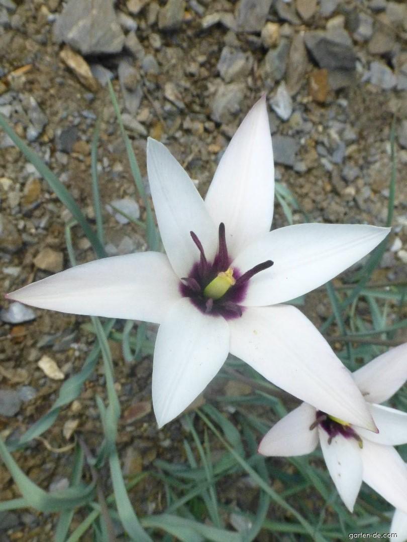 Tulipán (Tulipa clusiana Lady Jane)