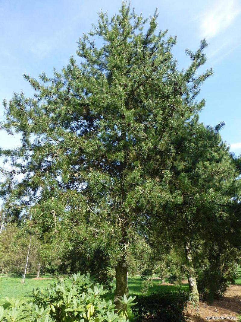 Borovice - habitus (Pinus murraybanksiana)