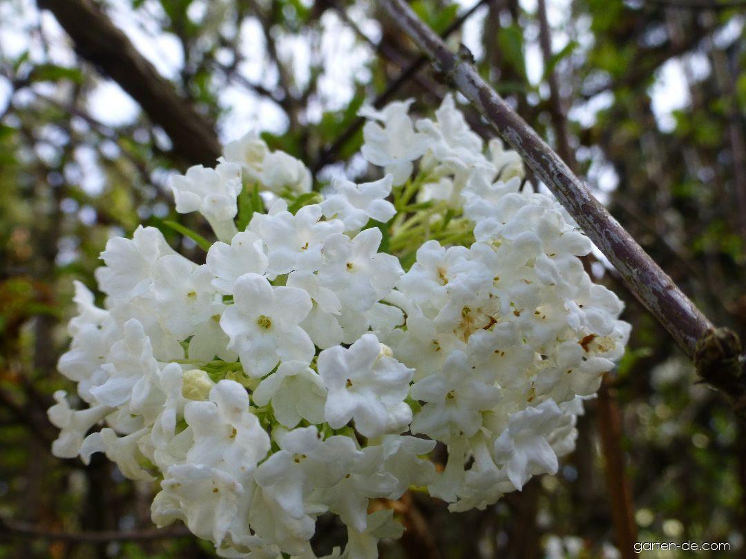 Kalina vonná - květ (Viburnum farreri Candidissimum)