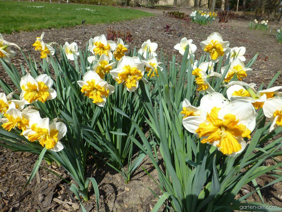 Narcis zahradní Parisienne (Narcissus x hybridus)