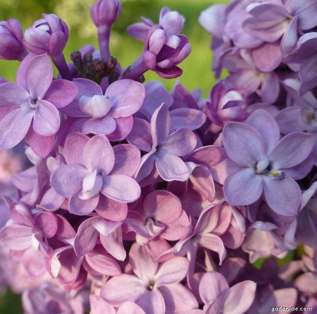 Gewöhnlicher Flieder - Syringa vulgaris Comte de Kerchove