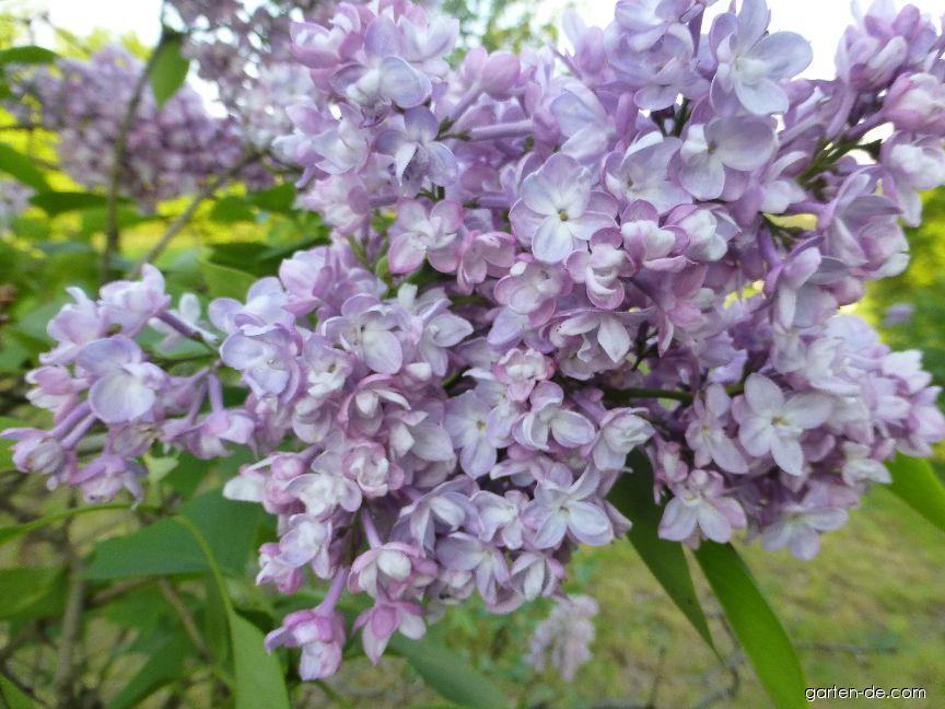 Gewöhnlicher Flieder - Syringa vulgaris Ami Schott