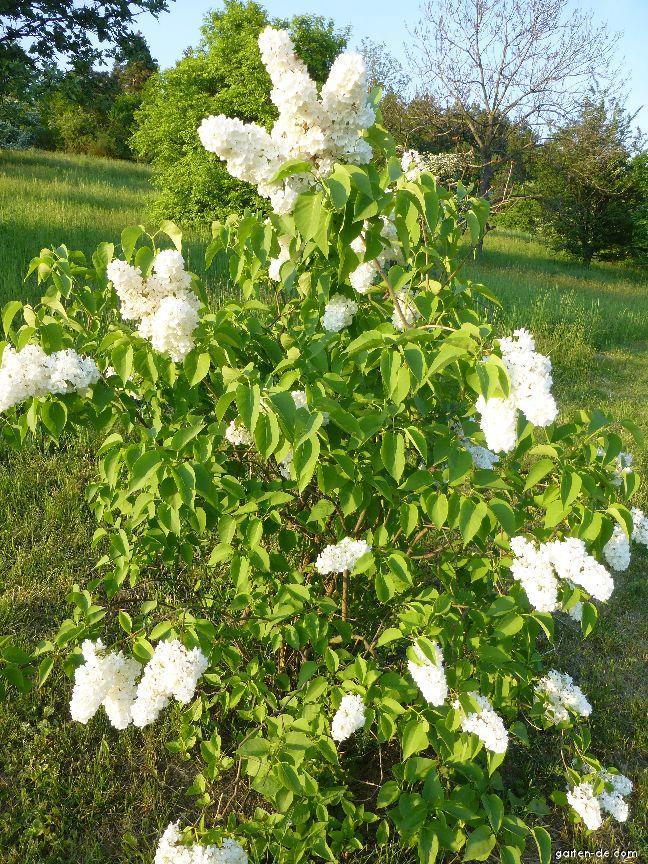 Gewöhnlicher Flieder - Syringa vulgaris Monument