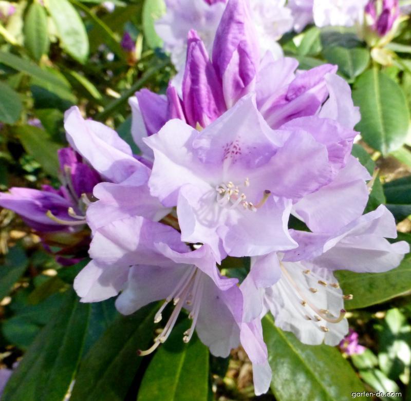 Pěnišník Hercules (Rhododendron)