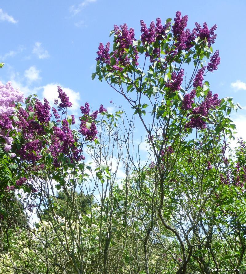 Gewöhnlicher Flieder - Syringa vulgaris Charles Joly