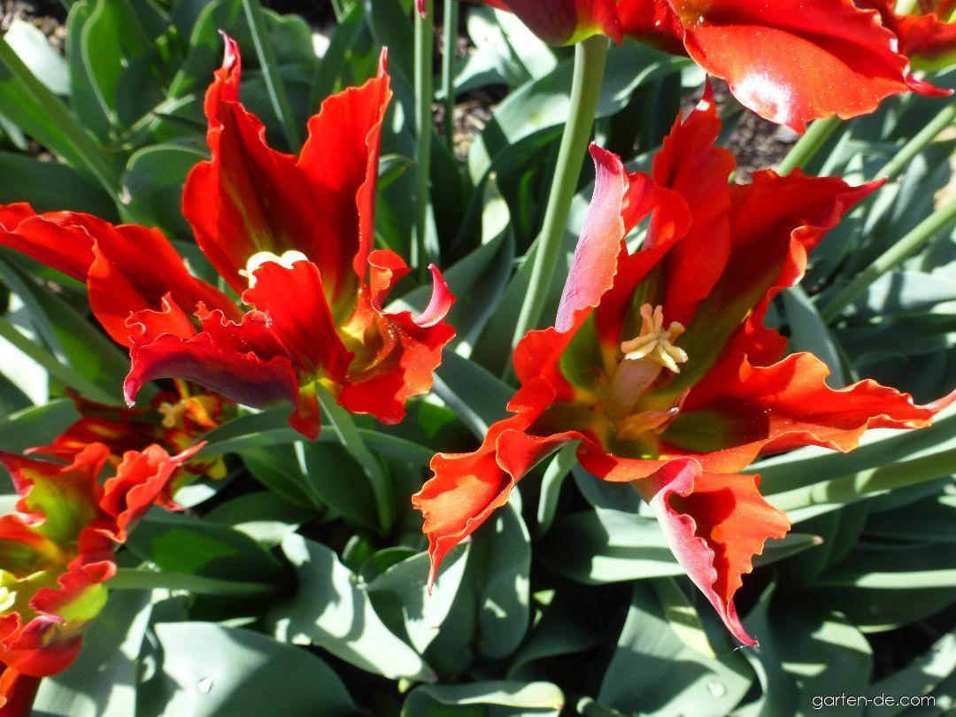 Tulpe - Tulipa Green Valley