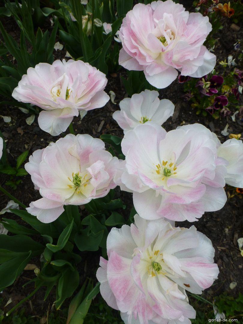 Tulipán Angelique (Tulipa x hybrida)