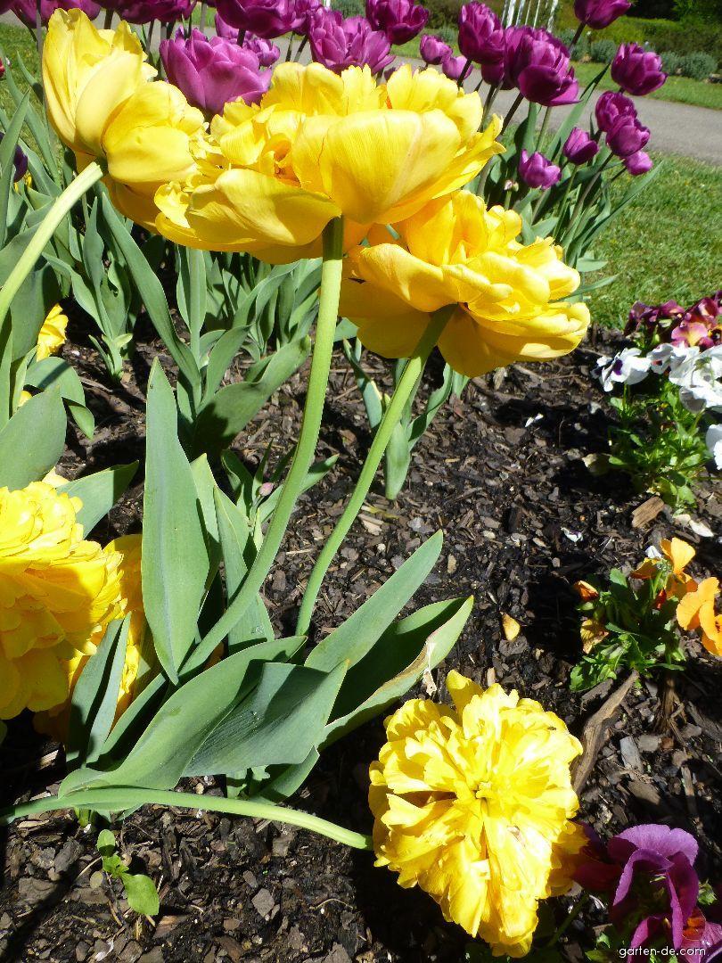 Tulpe - Tulipa Yellow Pomponette