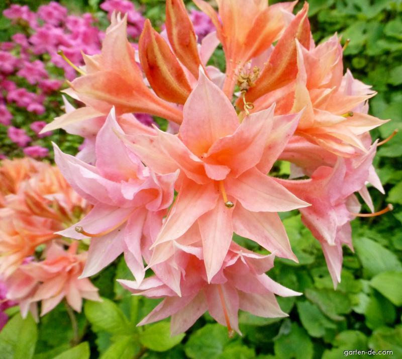 Pěnišník Freya - květ (Rhododendron)