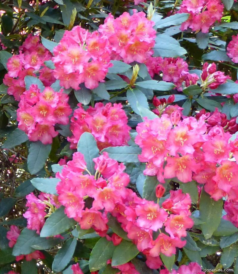 Pěnišník Moravanka (Rhododendron)