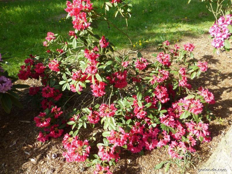Pěnišník Bremen (Rhododendron)