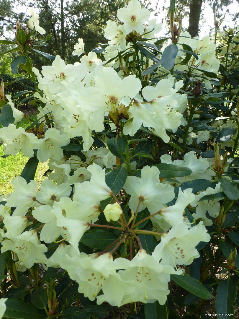 Pěnišník Nippon (Rhododendron)