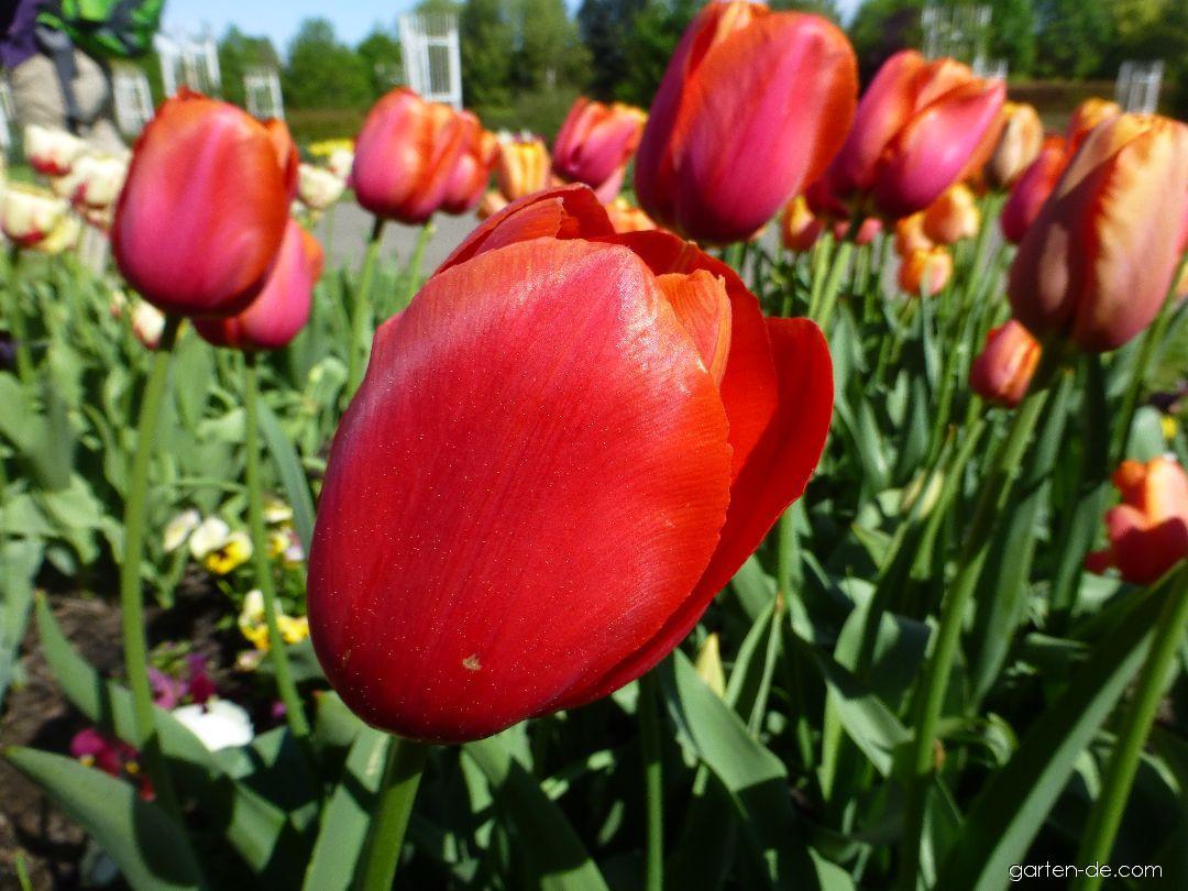 Tulpe - Tulipa Avignon
