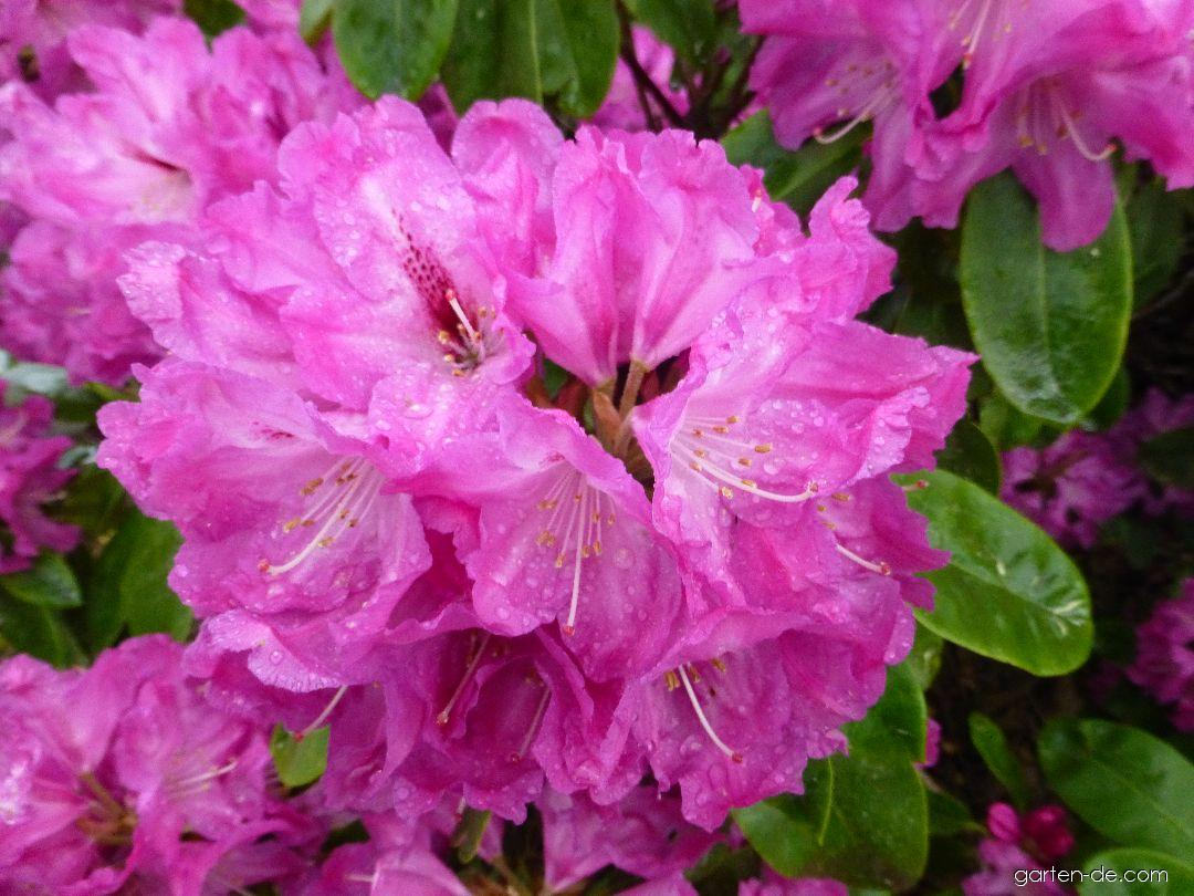 Alpenrose - Rhododendron Milan