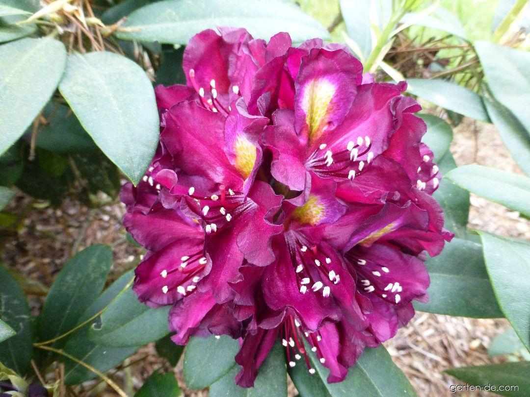 Pěnišník Frank Galsworthy - květ (Rhododendron)