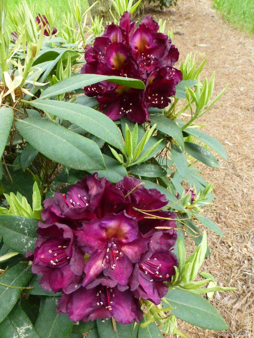 Pěnišník Frank Galsworthy (Rhododendron)