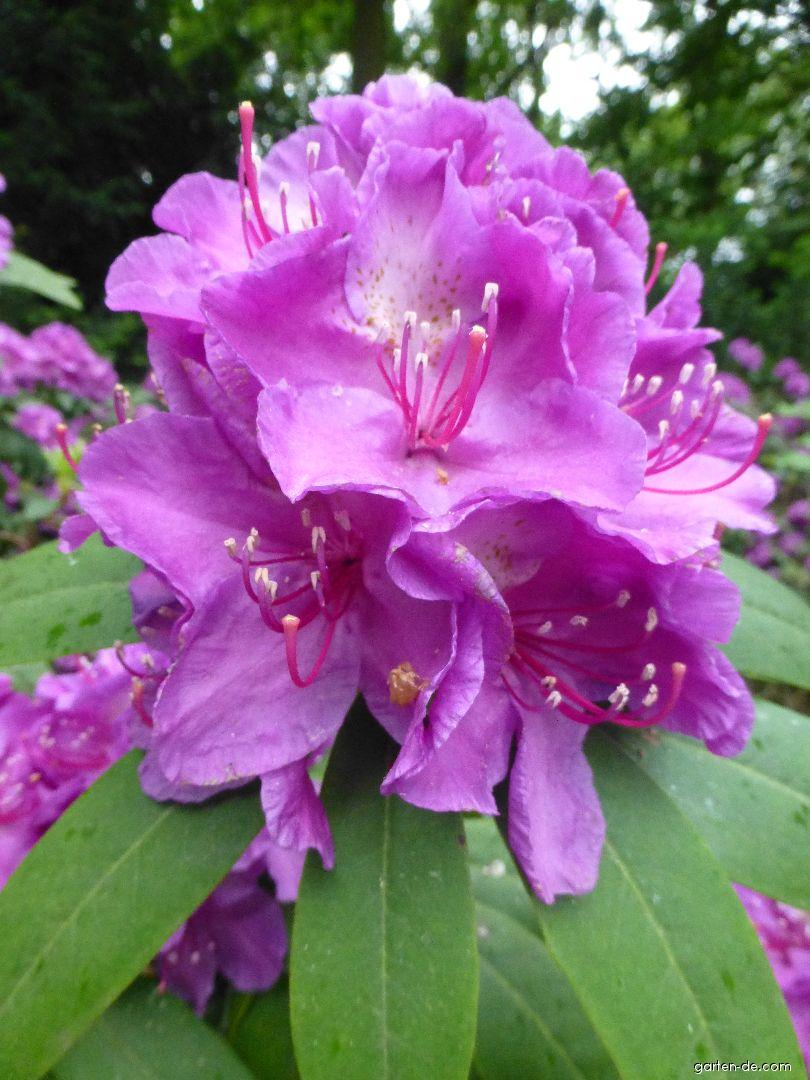 Alpenrose - Rhododendron Mrs Davies Evans