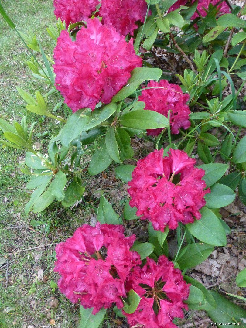 Pěnišník General Eisenhower (Rhododendron griffithianum)