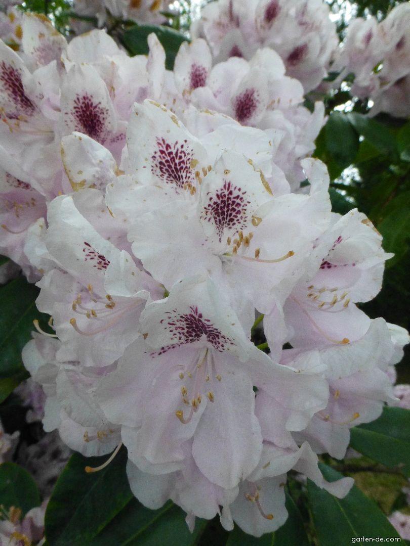 Alpenrose - Rhododendron Priska