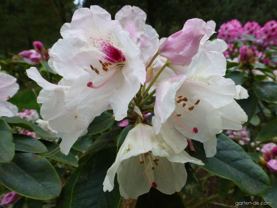 Alpenrose - Rhododendron Ann Soli
