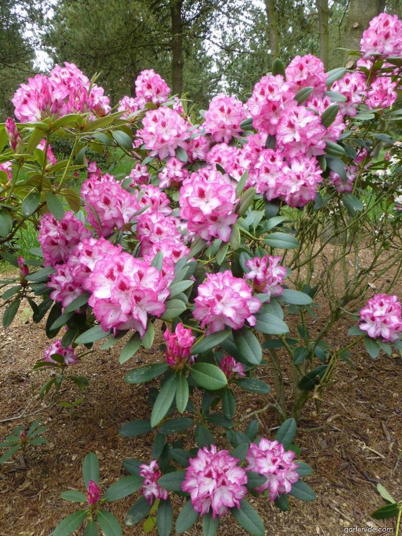 charmant garten - rhododendron hachmanns charmant alpenrose garten