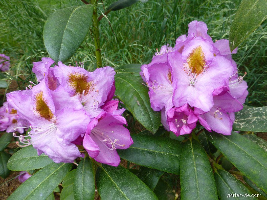 Alpenrose - Rhododendron Ricarda