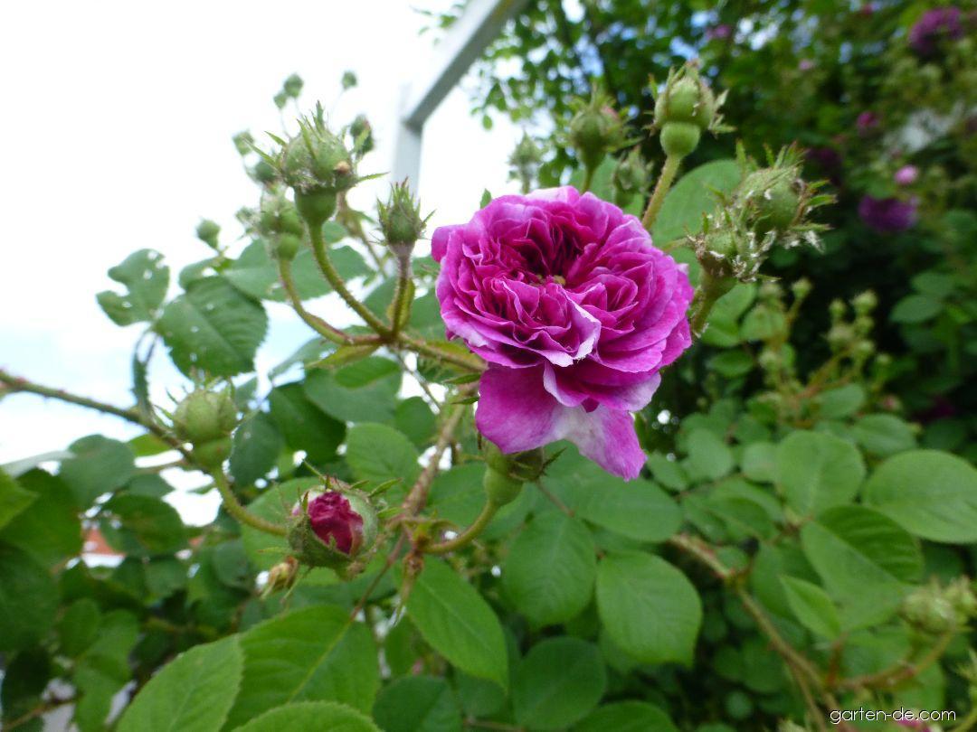 Rose - Rosa Turner s Crimson Rambler