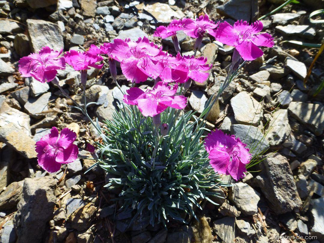 Pfingst-Nelke - Dianthus gratianopolitanus Whatfield Magenta