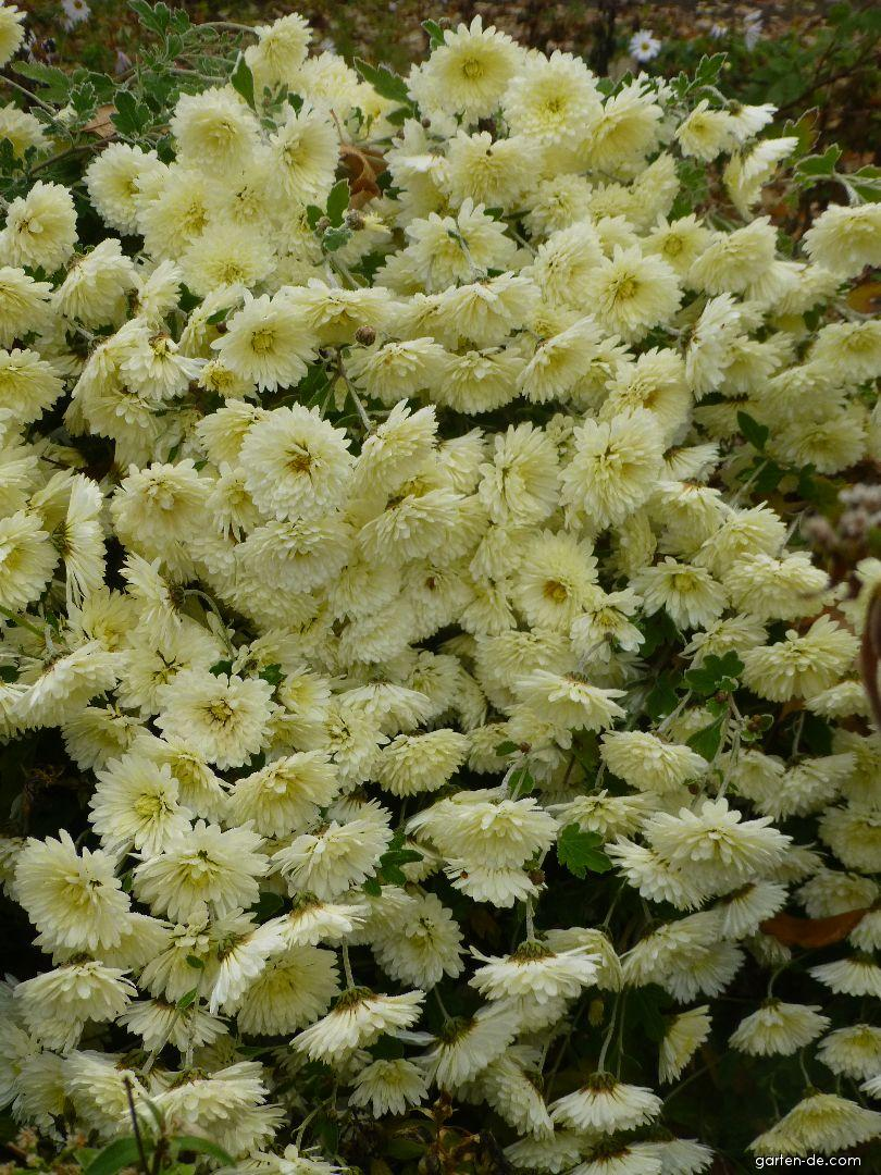 Chrysantheme - Chrysanthemum hybridum Herbstrose