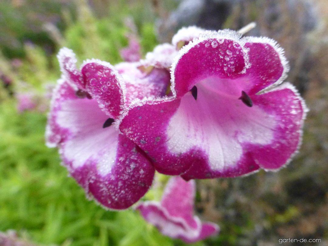 Dračík Lord Home - jinovatka na květech (Penstemon)