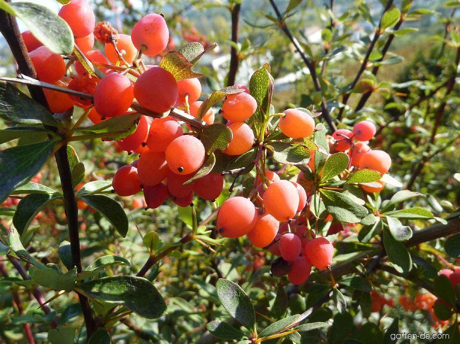 Dřišťál - plod (Berberis)